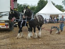 Shire horses in full show harness