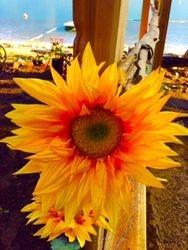 Sunflower On Deck