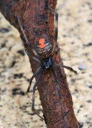 Australian Red Back - Black Widow