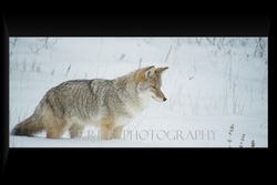 Coyote listening to a mouse burrowed under the snow