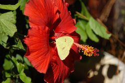 Hibiscus and friend