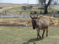 PrimRose the Donkey