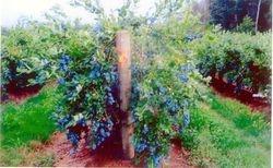 Blueberry Bushes on Wynne Farm