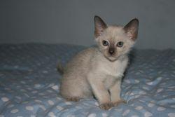 7 weeks old - Chocolate girl- Reserved
