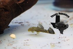 Lemon Drop Pleco