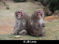 adult female-female consortship (Arashiyama)