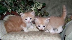 Mom J Low's cream and white bi-color longhair Ragdoll Munchkin boys