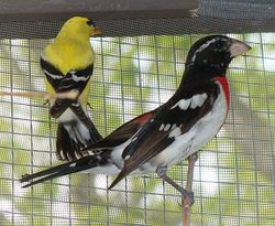 Goldfinch and Grossbeak