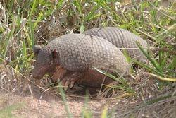 Tatu de rabo mole pequeno ( Cabassous unicinctus )