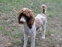 Luke, 25 pound poodle