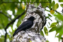 Purpple-throated fruitcrow - female