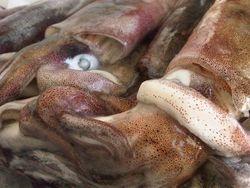Calamar loligo reynaudi,South Africa