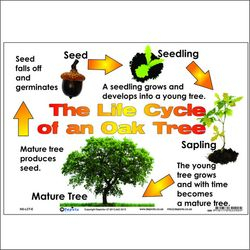 Arbor Day - Life Cycle of an Oak Tree