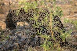 Leopard eating Guinea Fowl