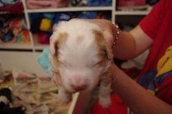 Mischas puppies 10 days old