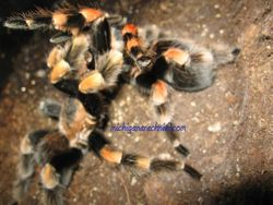 B.smithi breeding 2011 (6)