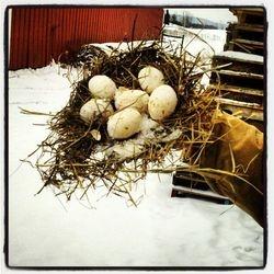 Duck eggs frozen in a nest...