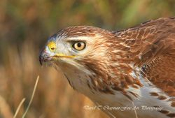 Red Tailed Hawk Close Up