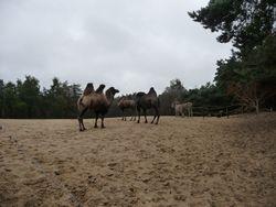 Kamelen?