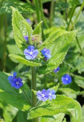 Borage Officinalis