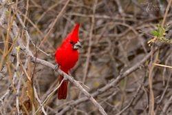 The stunning Vermillion Cardinal
