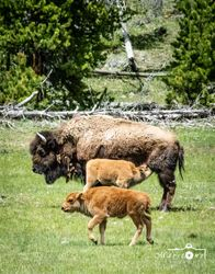 Yellowstone Calves