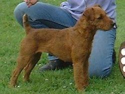 Red Lakeland/Fell Terrier.