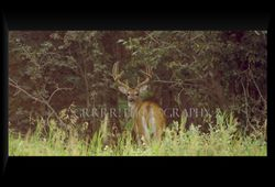 White tailed buck