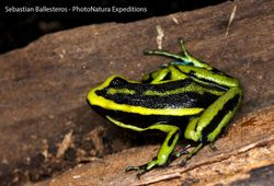 Three-striped arrow poison frog - Amereega trivittatus