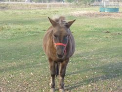 Austin mule