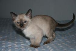 7 weeks old - Brown Point Boy - Reserved