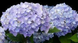 "Lavender Reverence II - 22"" x 40"""