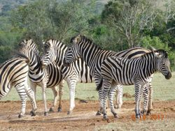 The stripes of Zebras