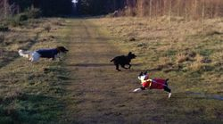 Heston playing chase with me, Benji pretending to be brave!