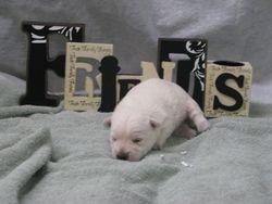 AKC female Westie born 6-9-11