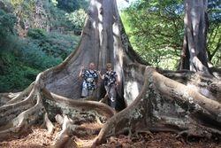 Fig tree from Jurassic Park in Allerton Gardens