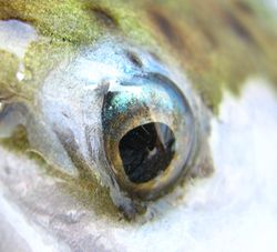 Blue r/bow trout