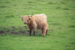 Highland Cattle, Island of Mull