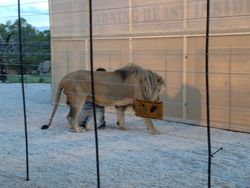 Lions behind our fence