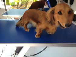 Before - Long Haired Dachshund