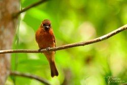 Cinnamon flyctcher