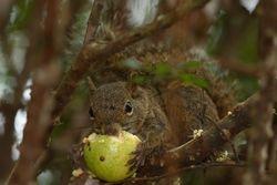 Esquilo brasileiro - Serelepe - Caxinguele - ( Guerlinguetus sp )