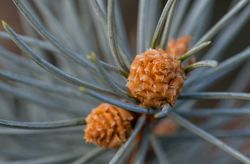 Budding Cone by Randal Day