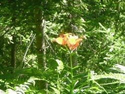 Lilium di montagna