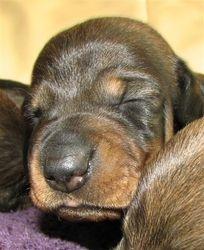dog pup 14 days 6
