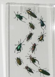 12 Marching beetles