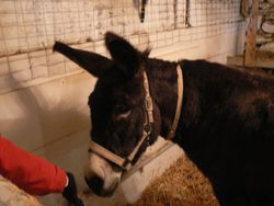 Elvira the donkey loved the animal Reiki sessions