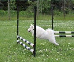 Vicky dog agility training