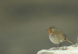 Février - Rougegorge - Robin