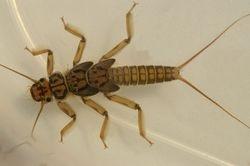Larva of may fly.